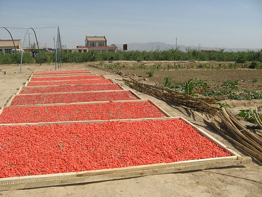 Ningxia red wolfberry crop