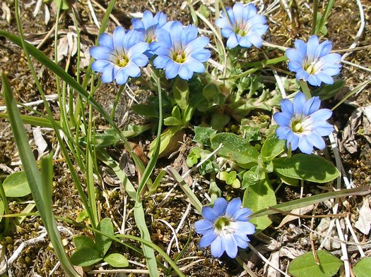 Blue flower in Tibetan sunshine