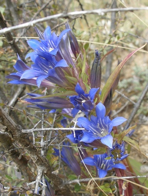 Tibetan blue mountain flower