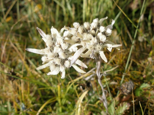 Edelweiss on mountain in Tibet