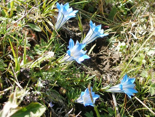 Tibet wildflower - gentian