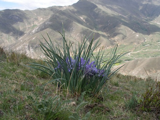 Tibetan iris clump on mountain