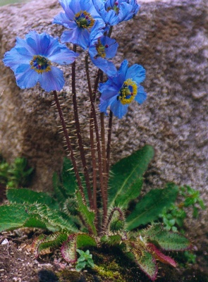 Blue poppy in Tibet