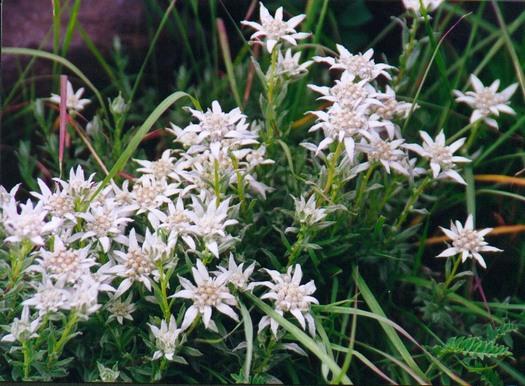 Tibetan edelweiss clump