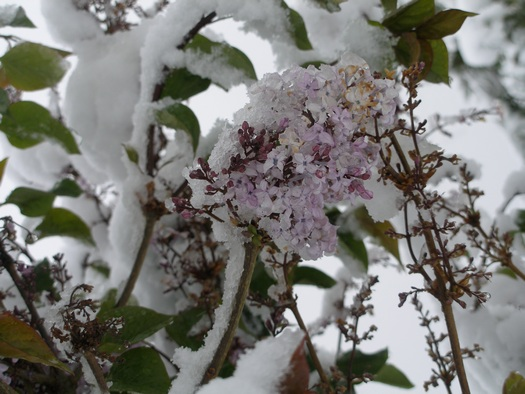 Tibetan lilacs covered with snow