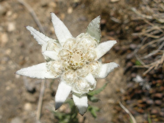 Tibetan edelweiss close-up
