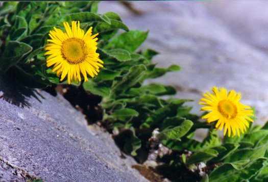 Wildflowers in Tibet