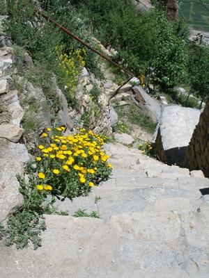 Yellow flowers beside Tibetan trail