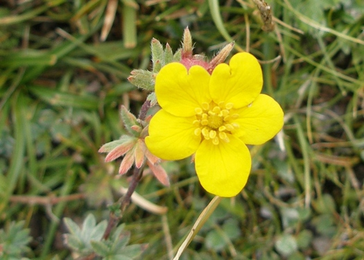 Yellow Tibetan flower