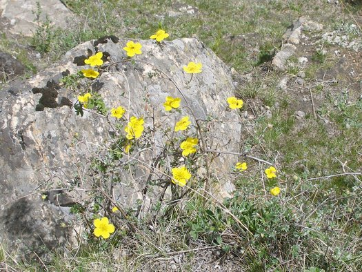 Yellow flowers in Tibetan rock