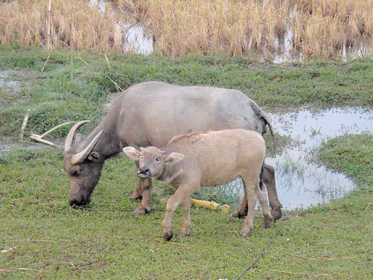 Mother water buffalo with calf