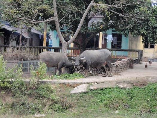 Water buffalo pair