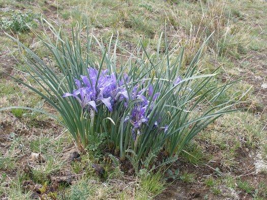 Tibet blue flower