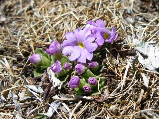 Purple flowers budding in Tibet