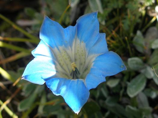 gentian flower in Tibet