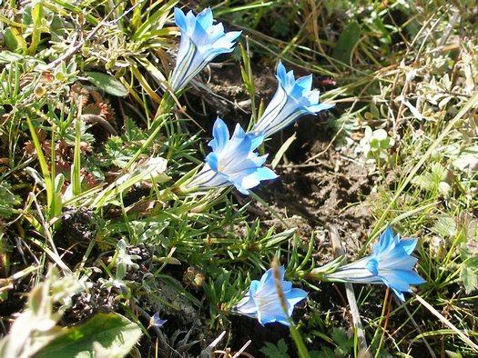 Tibet wildflower - gentian