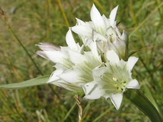 Wildflower on Tibetan mountainside