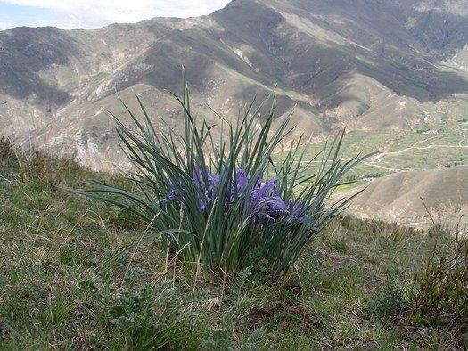 Tibetan iris clump on mountain