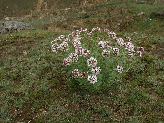 Tibet wildflower clump