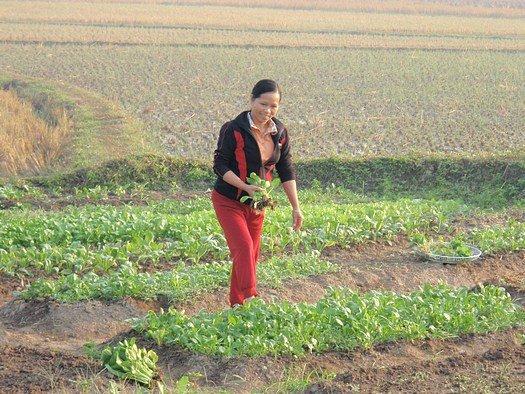 Vietnamese field of vegetables