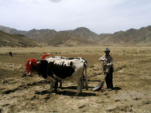 dzomo yak plowing