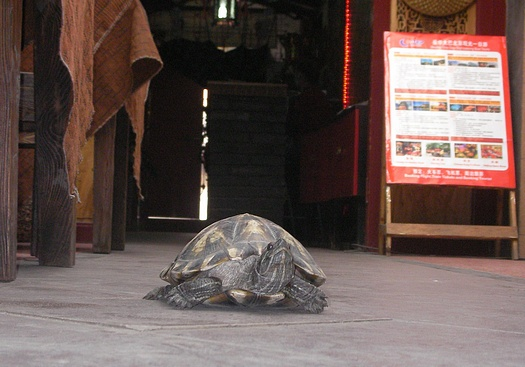 A turtle in a hutong