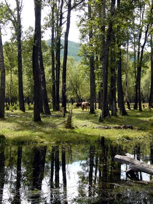 Trees and horses in Mongolian forest
