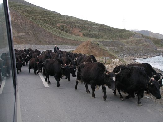 Tibet yaks on road