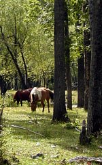 Mongolian horse in forest