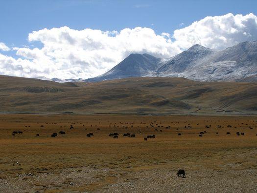 Yak herd in Tibet