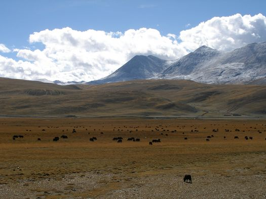 Yak herd in Tibet