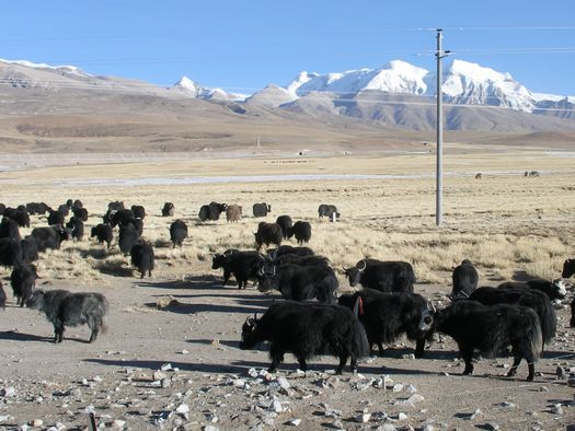 Yak herd beside Tibet railway