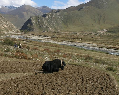 Yaks in field yoked for plowing
