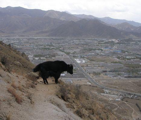 Yak above Lhasa